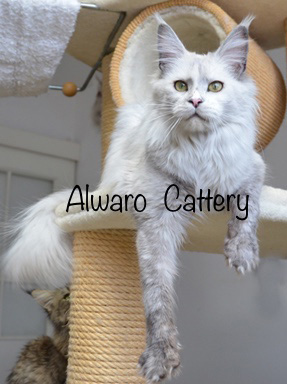 Alwaro*PL MCO Cattery - KITTENS IN SILVER
